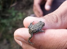 A baby toad on a hand.
