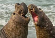 Elephant seals battling.