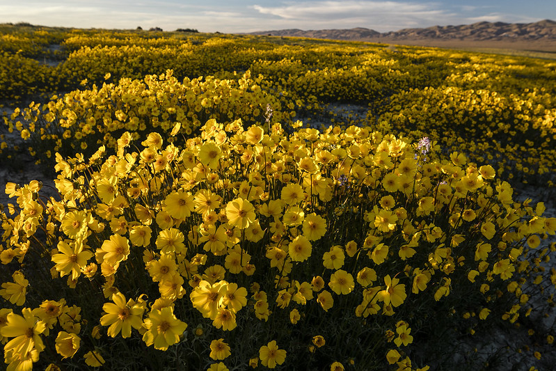 A filed of yellow wildflower.