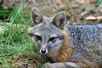 A gray fox.