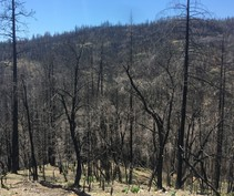 Trees scorched by the Camp Fire