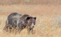 Grizzly bear walking through dry grass.