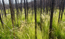 Scorched trees within a field on tall grass.