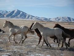 Wild horses running on a plain.