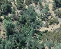 Marijuana crops seen from above