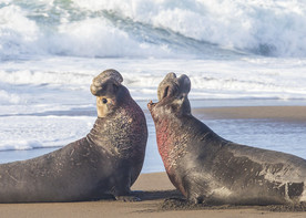 Two elephant seals barking at each other by the sea.