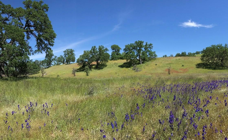 Field of wildflowers on a hillside with oak trees.