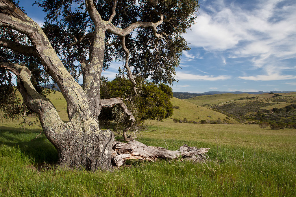 A tree fills half the frame, blue sky and golden hills show behind it.