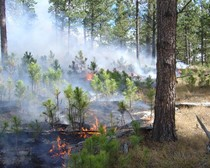 Fire burning along a forest floor among small saplings and large pine trees.