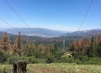 View looking into a valley with large amounts of brown, dying trees with power lines overhead.