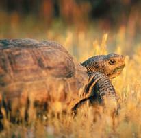 Tortoise standing in brown grasses.