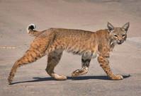 Bobcat walking on sand.