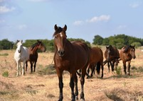 Six horses standing in a field of dry grass.