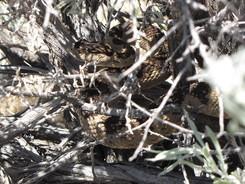 A rattlesnake hidden in some sticks.