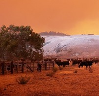 cows standing in a field with a red glow all around.