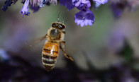 A honey bee flying to a purple flower.