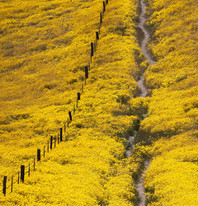 Field of yellow flowers with a path down the center.
