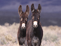 Two brown burros in a field of brush.