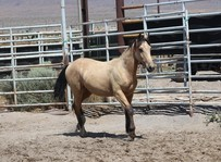Horse walking in a corral.