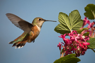 Hummingbird flying up to a flower.