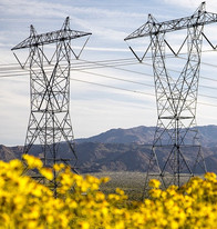 Powerlines over a field of yellow flowers.