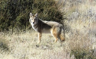 Coyote in a field of grass and shrubs.
