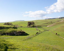 Cows standing on a green hillside.