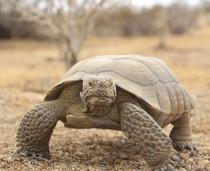 Tortoise standing on dry habitat.