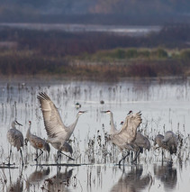 Sandhill cranes frolicking in shallow waters.