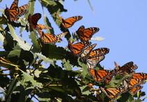 Many Monarch butterflies in a tree.