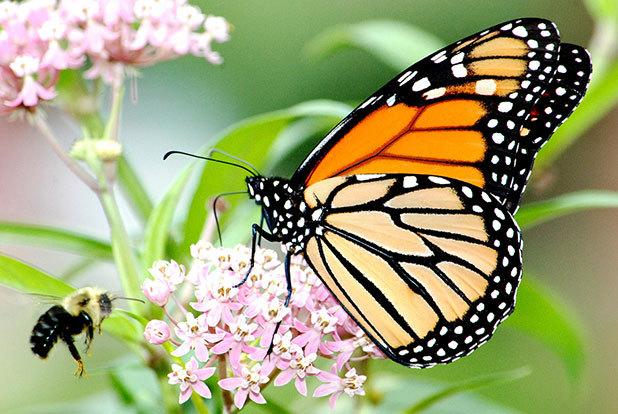 Monarch butterfly feeding on a flower.