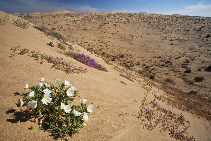 Sand dunes with a few white and pink flowers on the hillside.