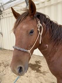 A horses face in a halter.