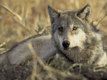 Grey wolf sitting in some dry grass.