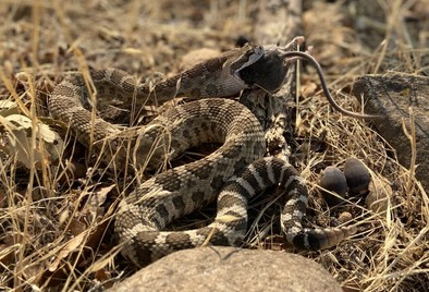 A rattlesnake eating a mouse.