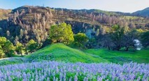Field of bluebonnets at the base of a green hillside.