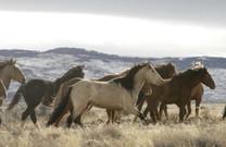 Herd of horses walking in dry grass.