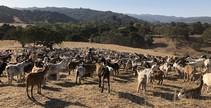 Goats standing on a hillside.