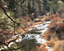 Icy river along pine trees.