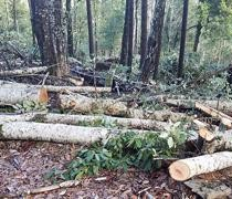 A pile of timber (trees) on the forest floor.