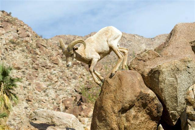 Big horn sheep climbing down a mountain.