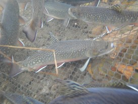 Coaster Brook Trout from Genoa NFH