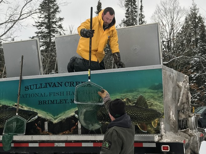 retired lake trout being stcoked into local michigan lakes