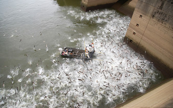 asian carp jumping at dam