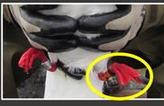 Close up of Red-legged Kittiwake legs showing bands and geolocator.
