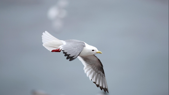 Red-legged Kittiwake in flight