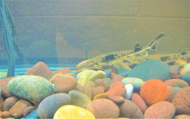 sturgeon in the classroom aquarium