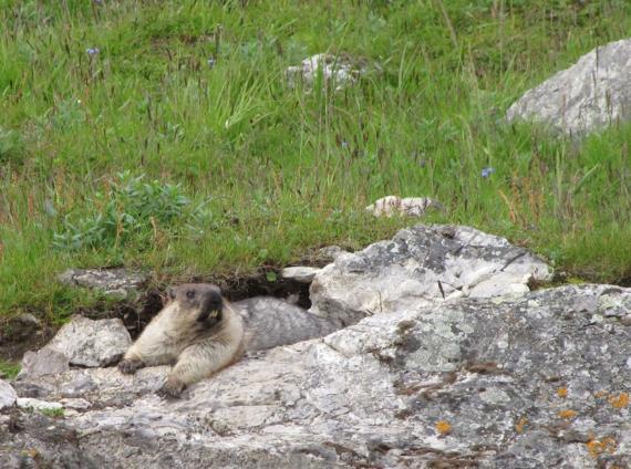 Alaska Marmot observes its surroundings on top of a rock at Cape Lisburne