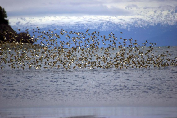 Thousands of shorebirds pass through Kachemak Bay on their migratory journey in May.