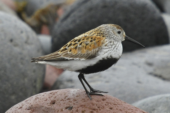 Dunlin - a shorebird with reddish brown feathers standing on rocky shore